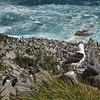 Rockhopper and Blackbrowed Albatross colony, Newport Island, Falklands
