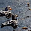 Flightless Steamer Ducks, Falklands