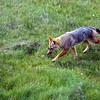 Fuegian Fox