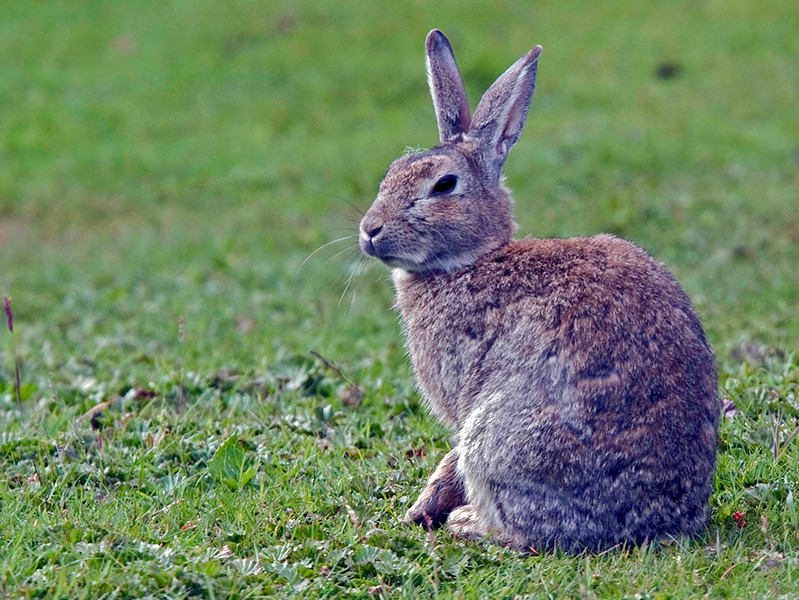 Fuegian Hare