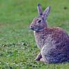 Fuegian Hare, Tierra del Fuego, Argentina