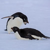 A pair of Adelie penguins resting on a small iceberg in the cove at Hope Bay on the Antarctic peninsula. Taken by Beverly Houwing in January 2015.