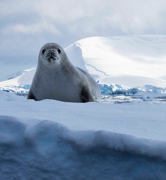 Seal on the sea ice