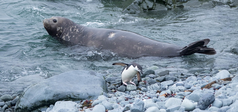 Elephant seal and Chinstrap penguin