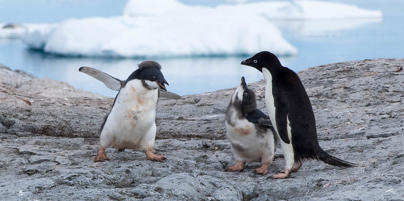"Two mostly molted, Adelie penguins, demanding food from mom.  ""Mohawk boy"" was quite aggressive about it."