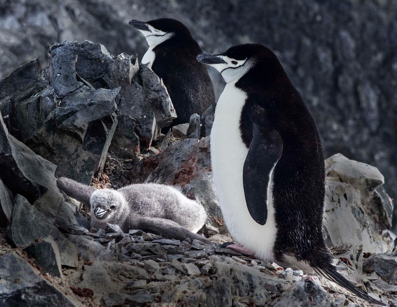 Most of the Chinstrap penguin babies had already molted, but this little one was a late arrival.  Mom and dad are guarding it against the Skua, a predatory bird that eats about half the penguin babies every year.