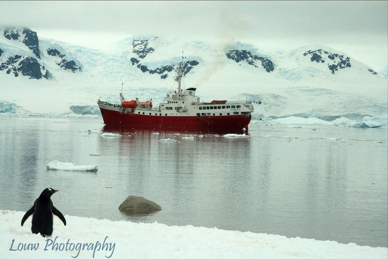 Gentoo penguin looking at Antarctic Dream ship, Neko Harbor, Antarctica