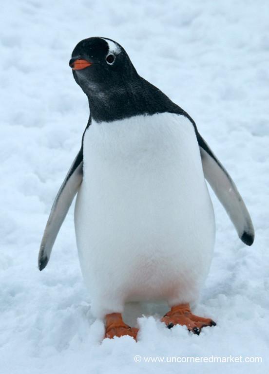 Curious Young Penguin - Antarctica