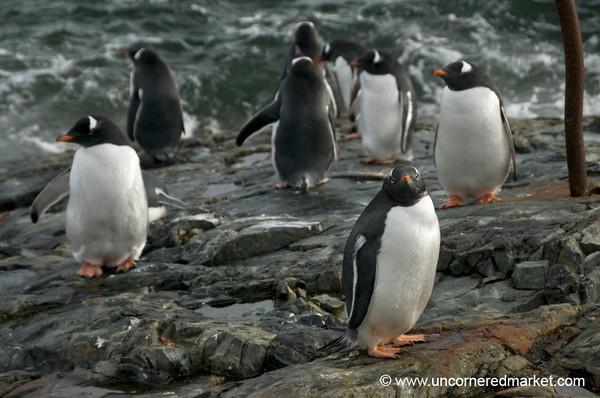 Gentoo Penguins, Wet and Dry - Antarctica