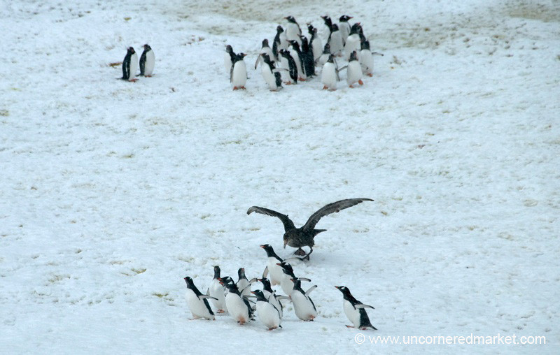 A Giant Petrel Scares a Group of Penguins - Antarctica