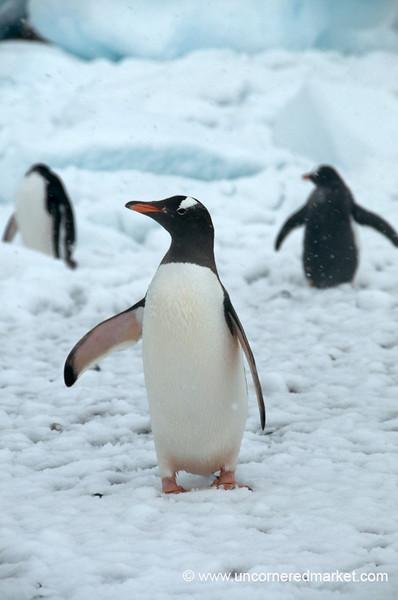 Gentoo Penguin Pose - Danco Island, Antarctica