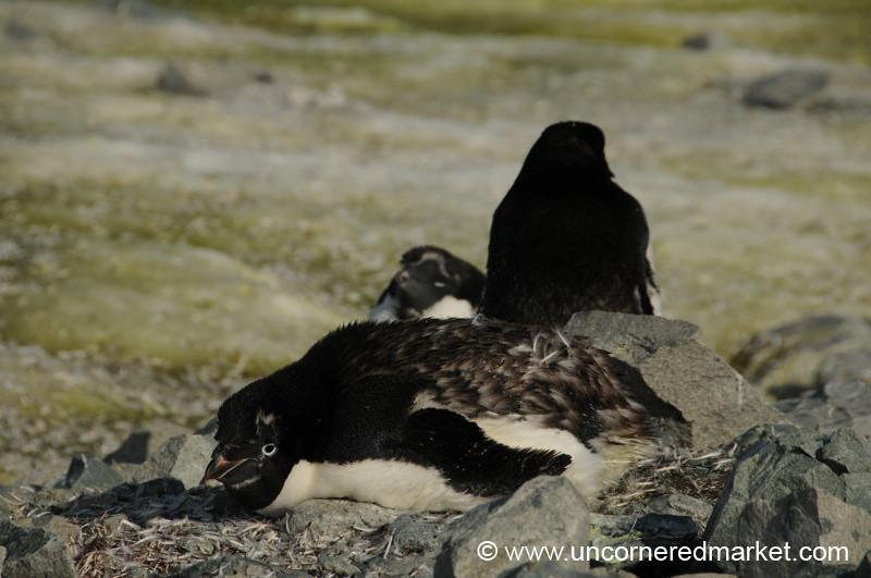 Adelie Penguin Taking a Break - Prospect Point, Antarctica