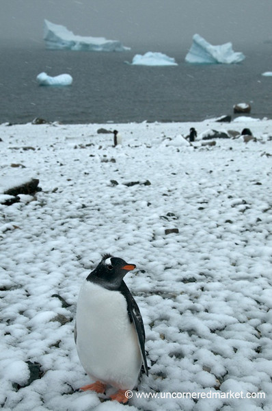 Gentoo Penguins on a Snowy Day - Antarctica