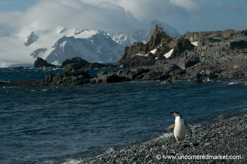 Chinstrap Penguin in the Sun - Antarctica