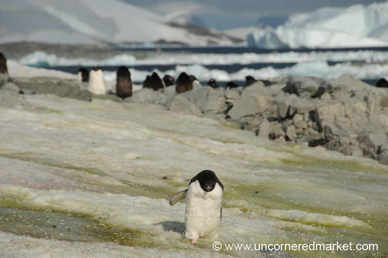 Penguin Sprint - Prospect Point, Antarctica