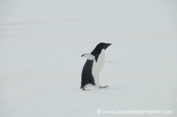 Penguin Taking a Stroll - Prospect Point, Antarctica