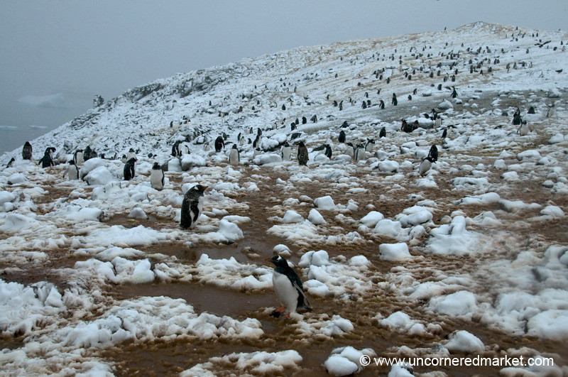 Lots and Lots of Penguins! Danko Island, Antarctica