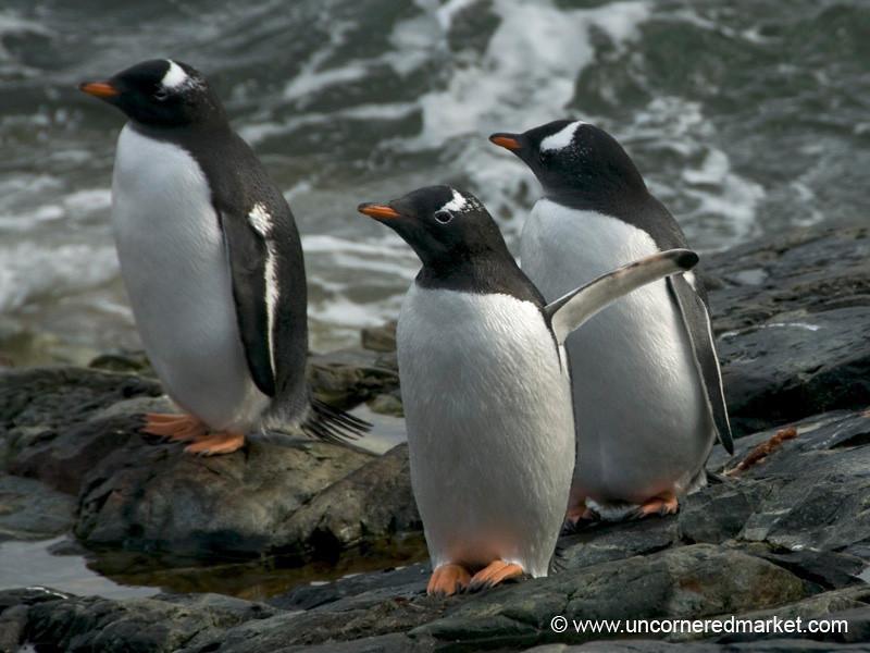 Young Gentoo Penguins - Antarctica