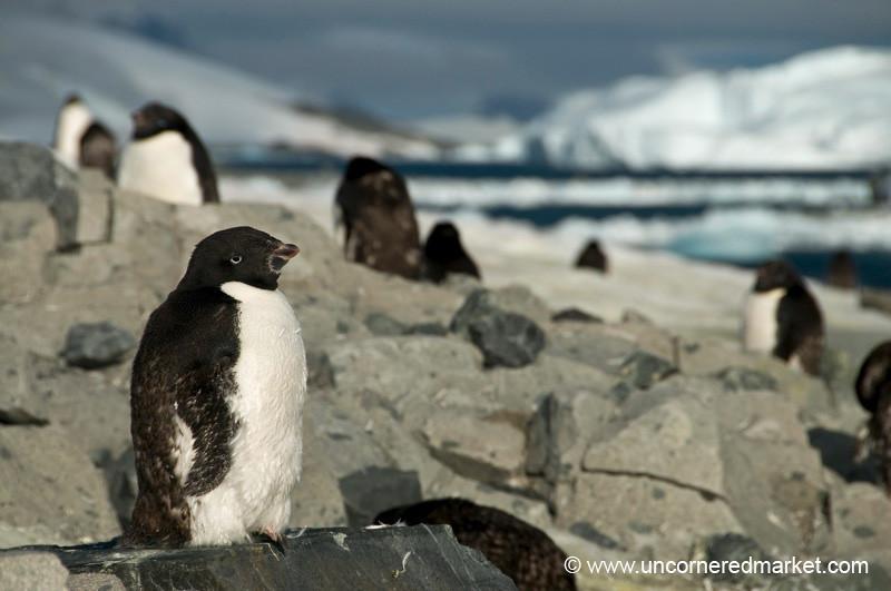Molting Adelie Penguins - Prospect Point, Antarctica