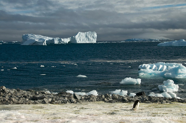Blue Ice and One Adelie Penguin - Antarctica