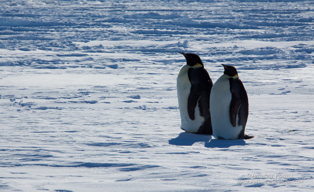 Pair of Emperor Penguins hanging out on the Ross Ice Shelf.