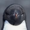 Adelie Penguin mugshot square