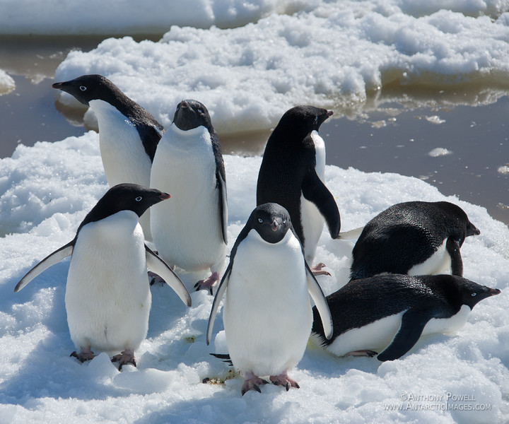 7 Adelie Penguins