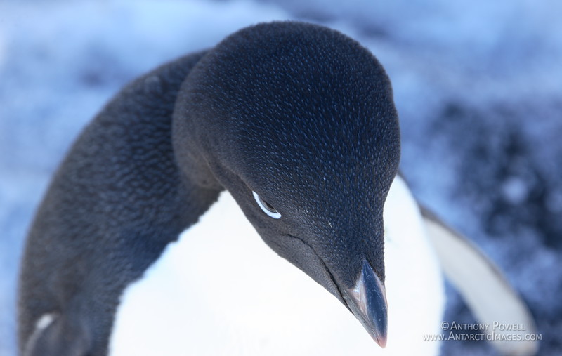 Close up detail of an Adelie Penguin. The black feathers on an adelie actually have blue tips on them, as can be seen in the detail here.