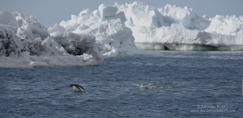 Adelie penguin swimming off Cape Bird, porpoising in and out of the water like a dolphin.