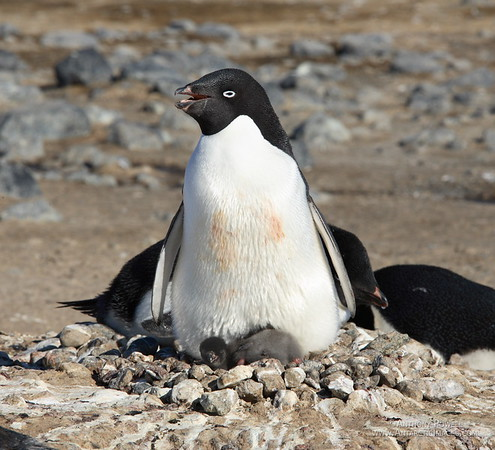 Adelie penguin and newborn chicks. There are actually two of them there, the one on the right has its head tucked in, the one on the left has its body tucked in. These chicks are only a day or so old.