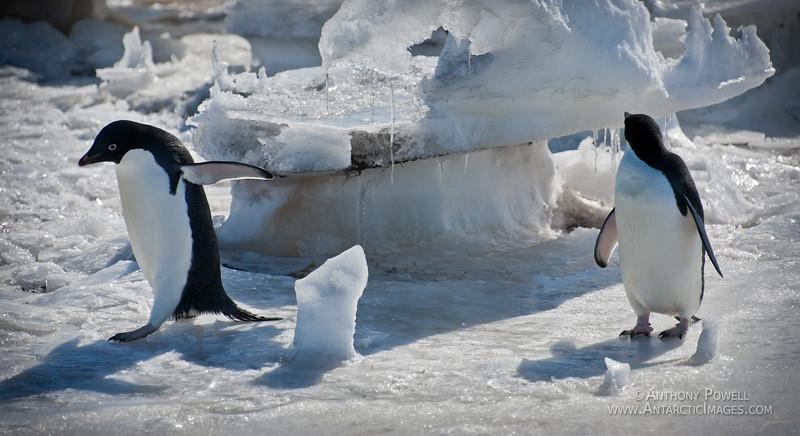 Adelie Penguins returning from fishing