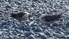 Skuas feeding their chick pieces of penguin at Cape Bird
