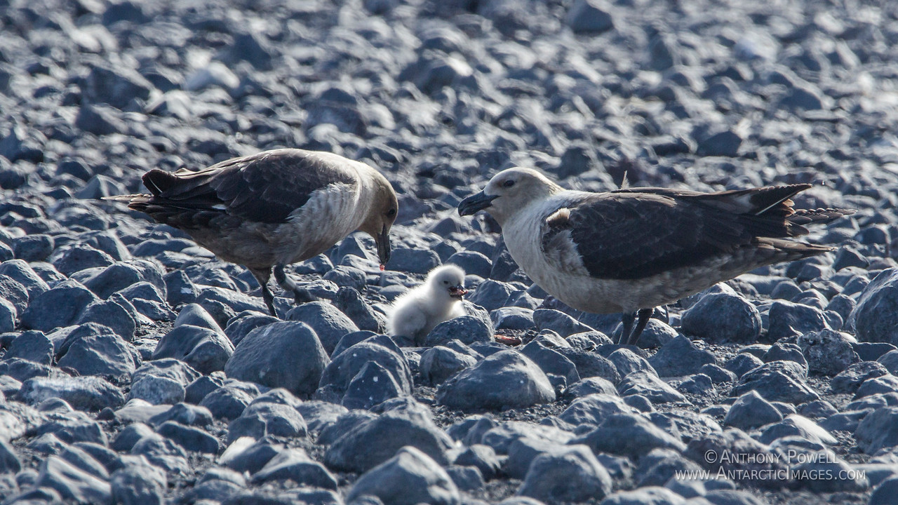Skuas feeding their chick pieces of penguin at Cape Bird