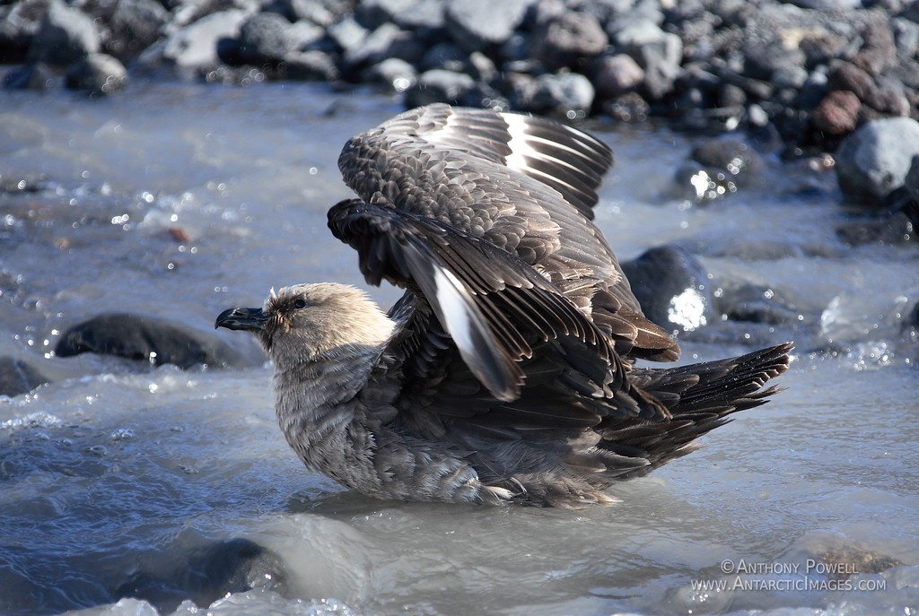 Skua taking a bird bath in the summer glacial melt water