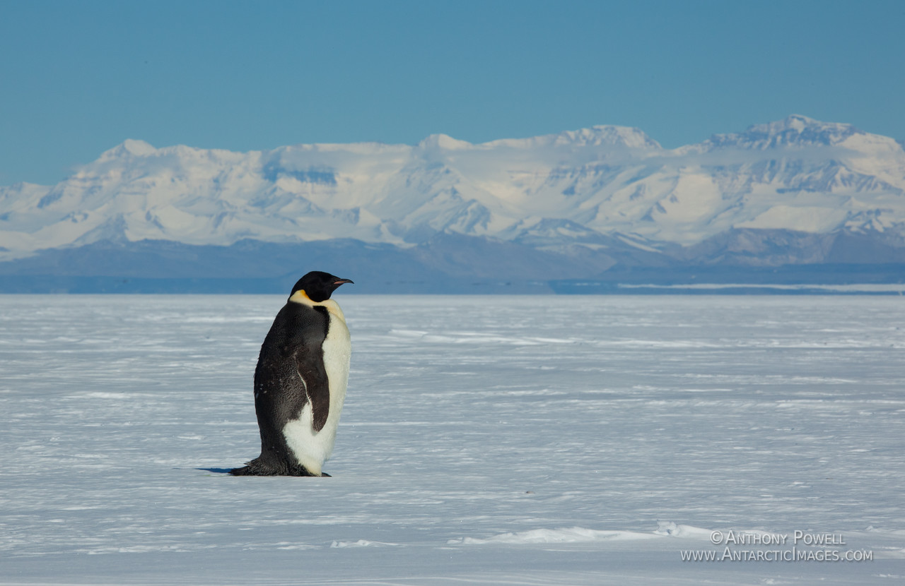 Emperor Penguin with the Royal Society Mountains in the background.