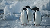 Adelie Penguins returning from feeding (they are clean and shiny).