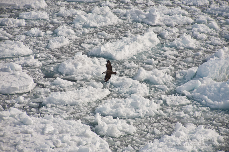 Skua flying over the pack ice in McMurdo Sound, Antarctica.