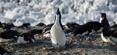 I am Penguin, hear me roar. An adelie penguin briefly uncovers it's egg while letting out a series of squarks to show off.