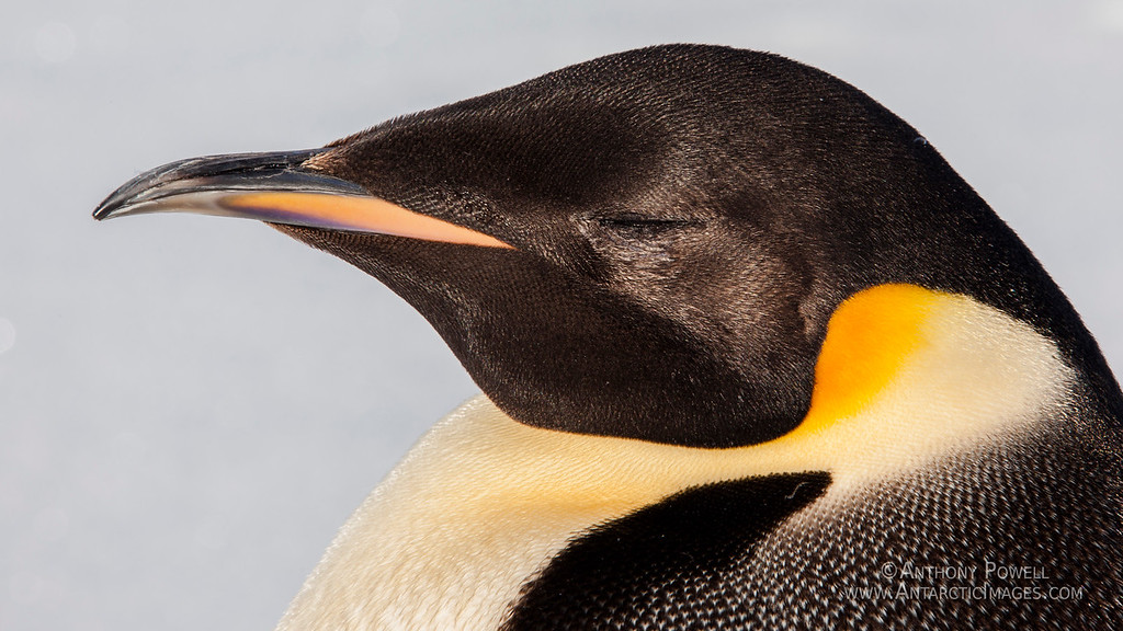 Zen Emperor Penguin