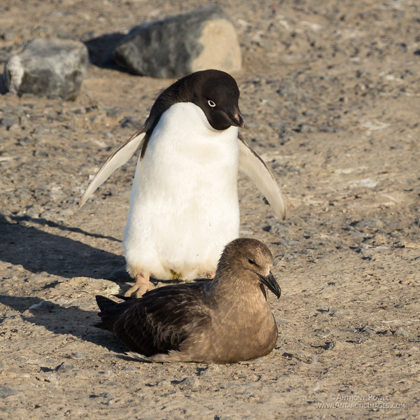 Adelie Penguin eyeing up a Skua. Skuas feed mostly on penguin chicks.