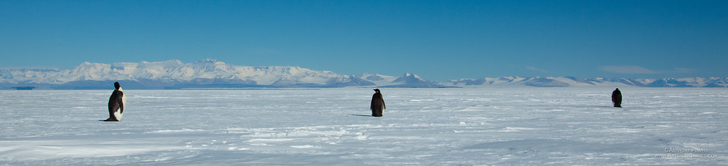 Panoramic shot of 3 emperor penguins hanging out on the Ross Ice Shelf, with the Royal Society Ranges in the background.