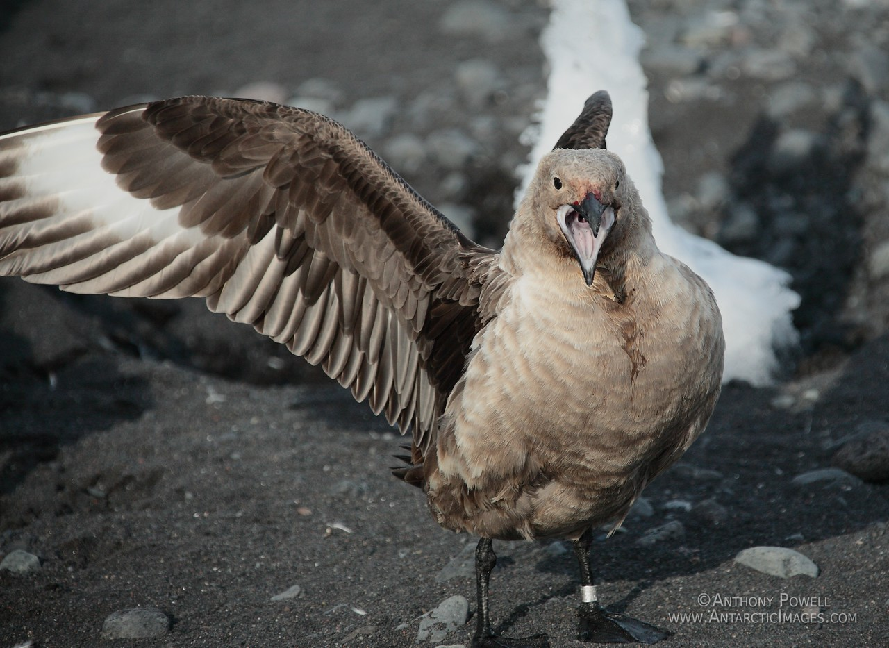 Antarctic Skua, acting aggressively in a territorial display.