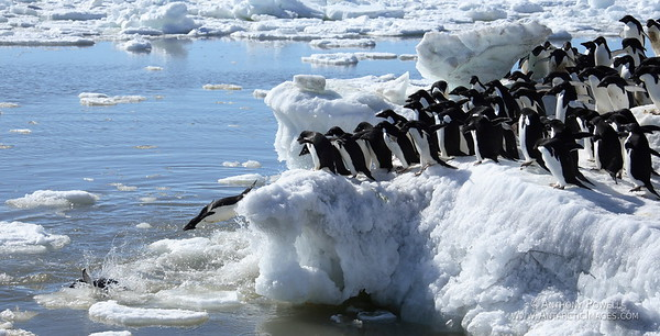 Group of adelie penguins begin to dive into the sea together to go fishing. They typically gather in large groups on the shore, then all jump in at the same time to reduce their chances of being eaten by an ocean predator.