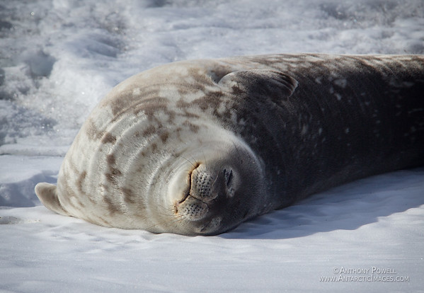 Weddell seal in the sun at Cape Evans