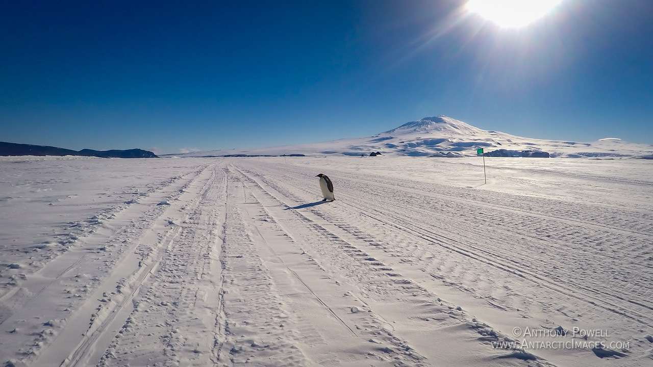 Why did the penguin cross the road?
