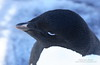 Close up of an Adelie Penguin, showing the blue tips on their black feathers.