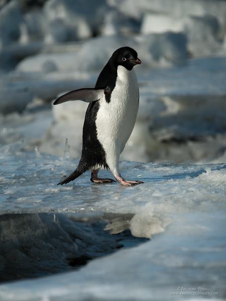 Adelie Penguin walking over a thin ice bridge between melt pools at Cape Bird, Antarctica.