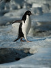 Adelie Penguin walking over a thin ice bridge between melt pools at Cape Bird, Antarctica.
