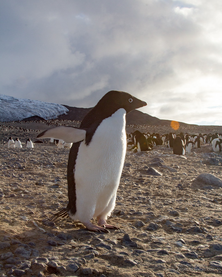 Adelie Penguin at Cape Bird looking towards the midnight sun in summer.