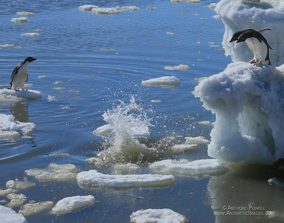 Splash Inspection. Adelie penguins, not sure whether or not to jump in the water or not look closely after another has just jumped in, trying to decide if it is safe to follow.